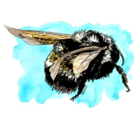 Bombus affinis by Bethann Merkle