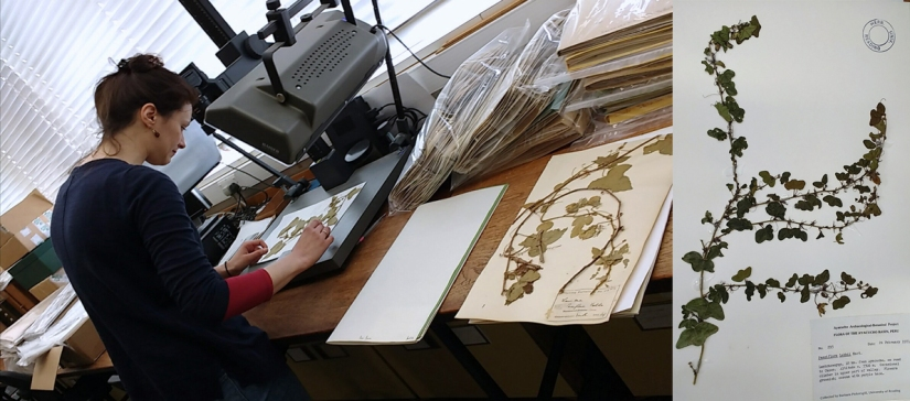 L-R; Dr Maria Christodoulou (@Melasnous) helping me with specimens at @RNGherb, a specimen of a Passiflora species (which has spots that mimic the eggs of its butterfly predators) in the herbarium