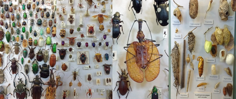 L-R; the insect collections at @morethanadodo - coleoptera, hemiptera, a violin beetle, leptidoptera