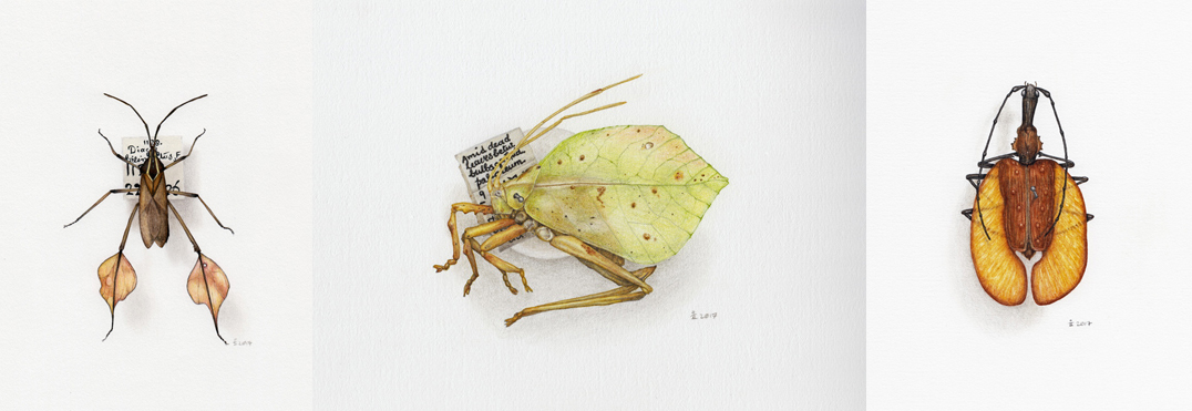 L-R; Drawings from my visit to @morethanadodo – leaf-footed bug, leaf katydid, violin beetle
