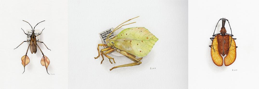 L-R; Drawings from my visit to @morethanadodo – leaf-footed bug, leaf katydid, violin beetle