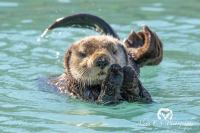 Sea Otter by Alena Ebeling-Schuld